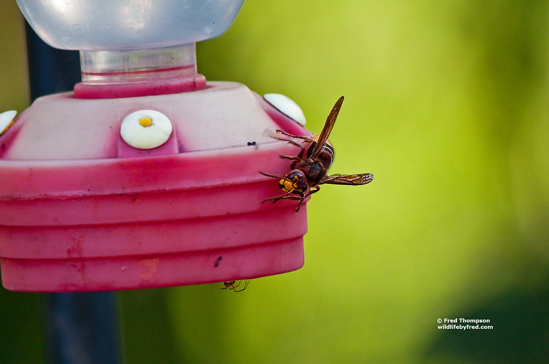 BEE & SPIDER ON HUMMINGBIRD FEEDER