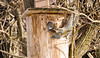 SQUIRRELS IN MY OWL BOX