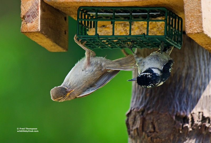 SPARROW AND DOWNY WOODPECKER SHARING THE SUET