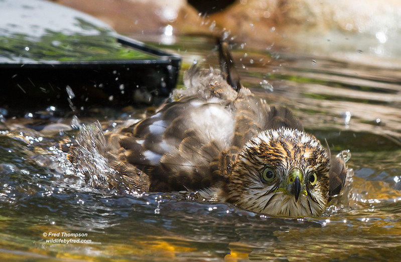 COOPERS HAWK TAKING A BATH