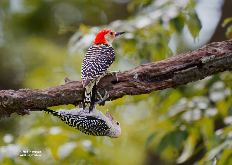 ADULT MALE RED BELLY WOODPECKER & JUVENILE