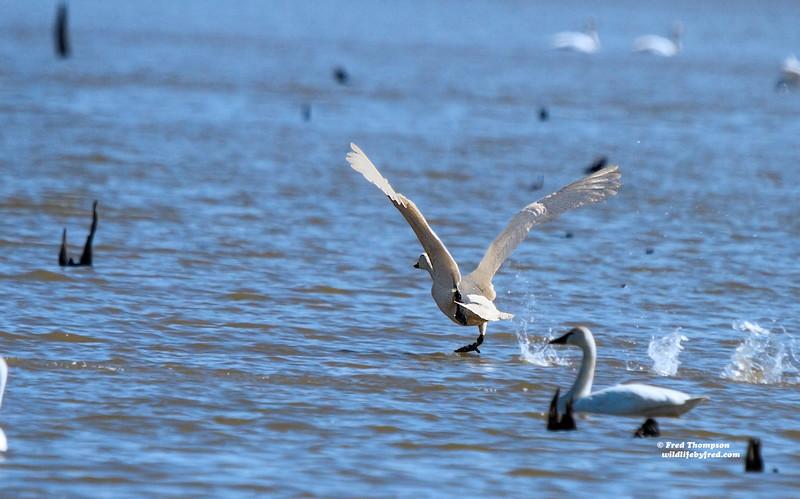 TUNDRA SWAN RUNNING ON WATER