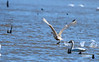 TUNDRA SWAN RUNNING ON WATER