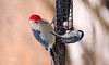 BLACK CAPPED CHICKADEE & RED BELLY WOODPECKER