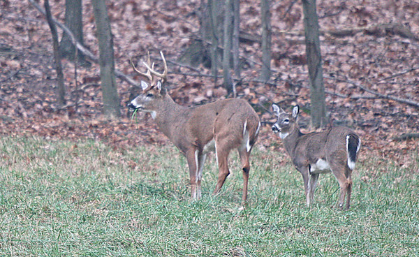 BUCK AND MIDGET DOE---I AM LOOKING FOR INFO ABOUT THIS DOE, HAS ANYONE EVER SEEN A MATURE DEER THAT WAS MUTED IN SIZE LIKE THIS DOE IS, SHE LOOKS TO BE ABOUT HALF AS TALL AS THE BUCK BUT AS YOU CAN SEE BY THE BODY IT IS A MATURE DEER?????