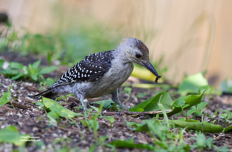JUVENILE RED BELLY WOODPECKER