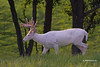 ALBINO WHITETAIL BUCK
