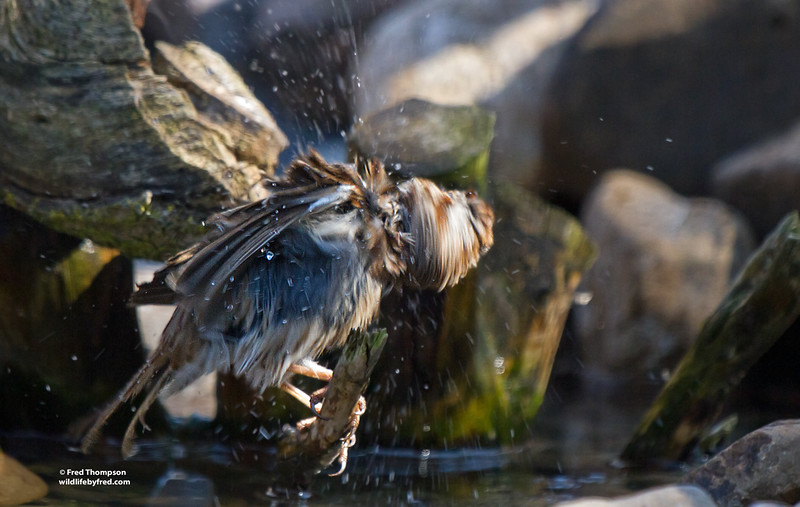 SPARROW ON SPIN CYCLE AFTER A BATH