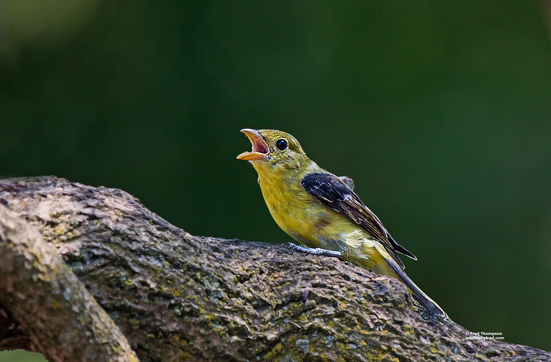 SCARLET TANGER (JUVENILE) TRYING TO SCARE THE OTHER BIRDS AWAY