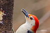 RED BELLIED WOODPECKER (MALE) PORTRAIT