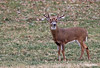 WHITETAIL BUCK WITH EXTRA LONG BROW TINES