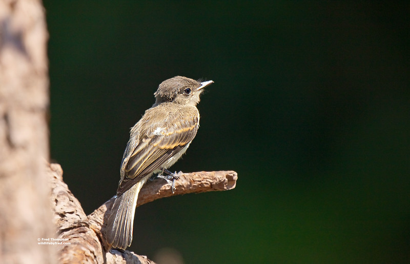 JUVENILE  FLYCATCHER (UNSURE OF WHICH ONE THOUGH)