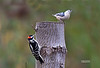 DOWNY WOODPECKER & WHITEBREASTED NUTHATCH