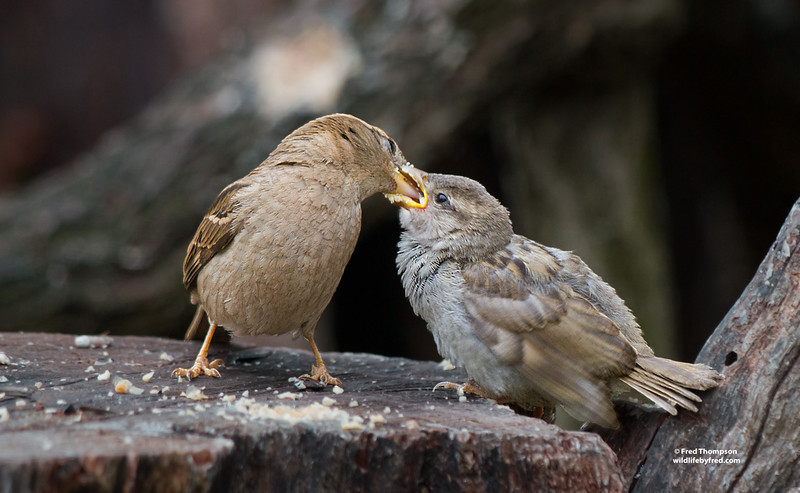 SPARROW FEEDING HER YOUNG