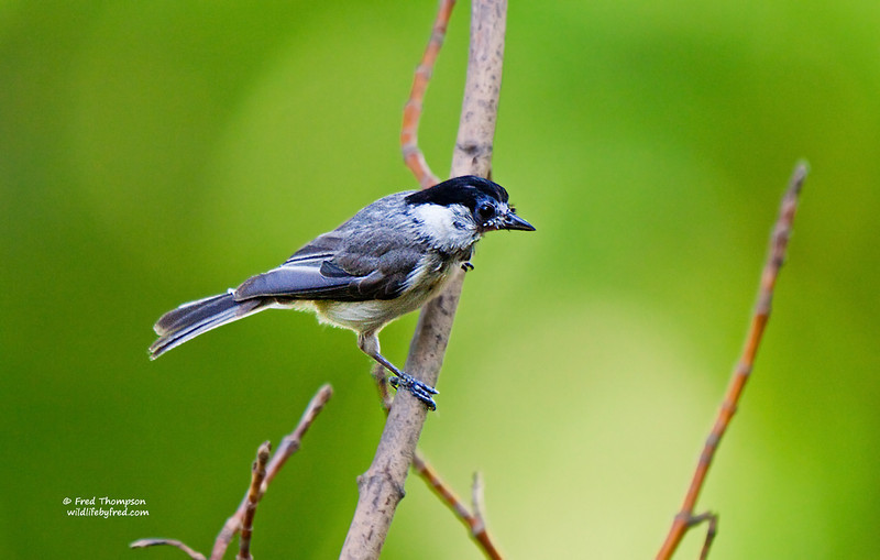 BLACK CAPPED CHICKADEE (JUVENILE--THIS BIRD JUST FLEDGED FROM A NEST IN MY YARD)