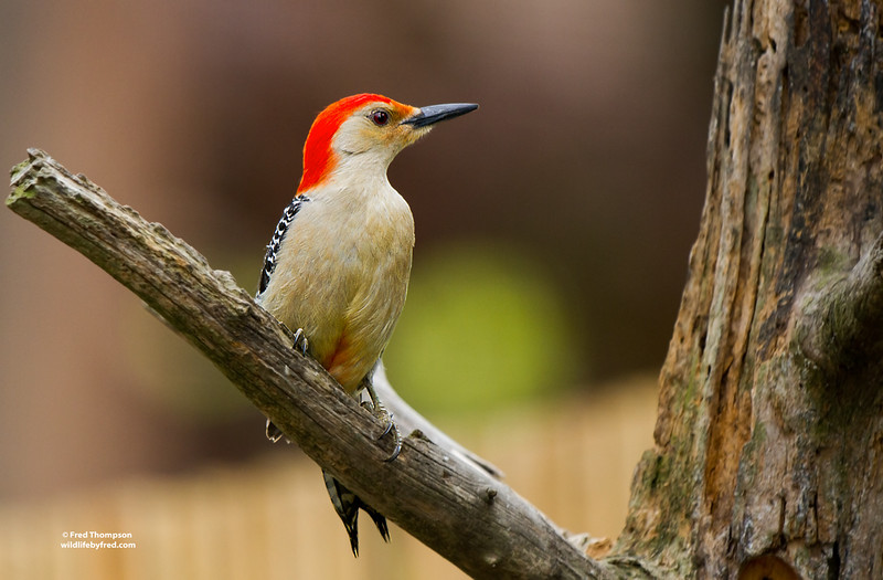 RED BELLY WOODPECKER (MALE)