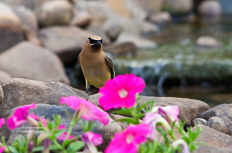 CEDAR WAXWING<br /> THIS IS PHOTO NUMBER 13,000 ON MY WEB SITE--IT IS HARD TO BELIEVE I HAVE POSTED THIS MANY PHOTOS