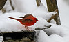 NORTHERN CARDINAL (MALE) SKIDDING TO A STOP IN THE SNOW AND ICE