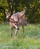 WHITETAIL BUCK WITH HUGE DROP TINE IN VELVET