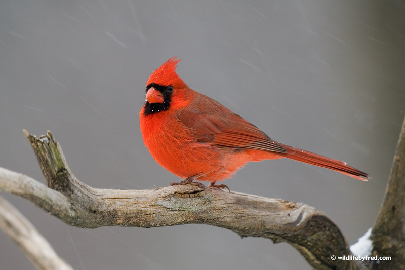 This photo has been published in the new National Geographic book Guide to the Backyard Birds of North America