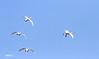 TUNDRA SWANS