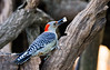 FEMALE RED BELLY WOODPECKER
