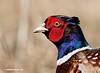 RING NECKED PHEASANT PORTRAIT