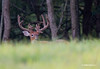 WHITETAIL BUCK WITH 10 BROW TINES