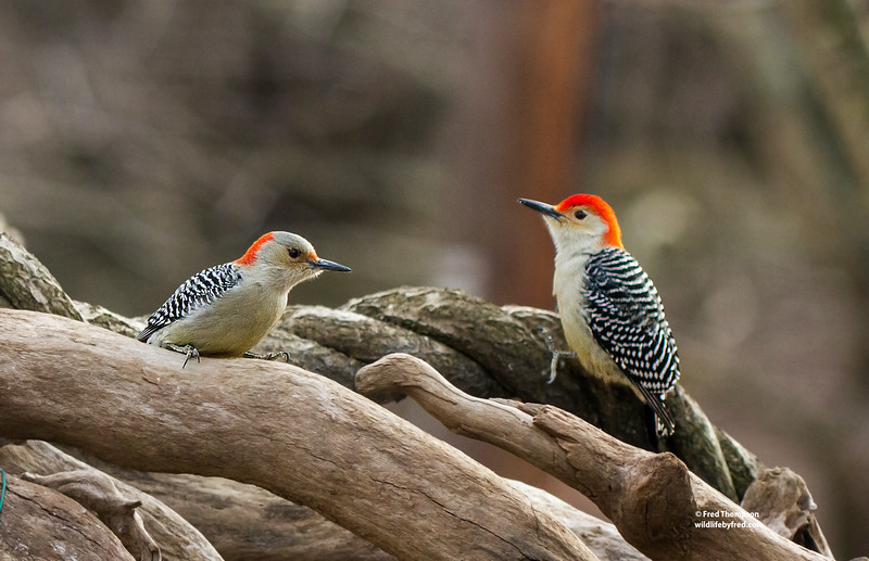 RED BELLY WOODPECKERS (MALE & FEMALE)