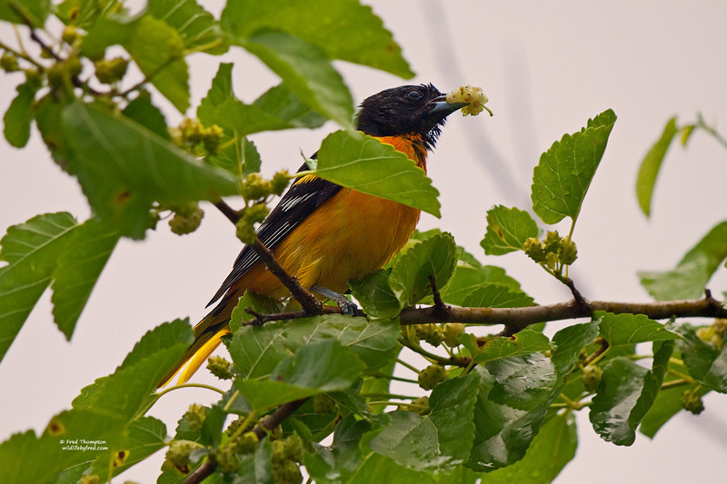 BALTIMORE ORIOLE EATING A MULBERRY