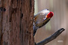 ADULT MALE RED BELLY WOODPECKER W/ A SPIDER