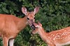 WHITETAIL DOE CHECKING OUT ONE OF HER FAWNS