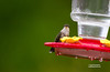 HUMMING BIRD--FIRST SIGHTING OF 2016 (4-25-2016)