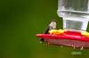 HUMMING BIRD--FIRST SIGHTING OF 2016 (4-25-2016)