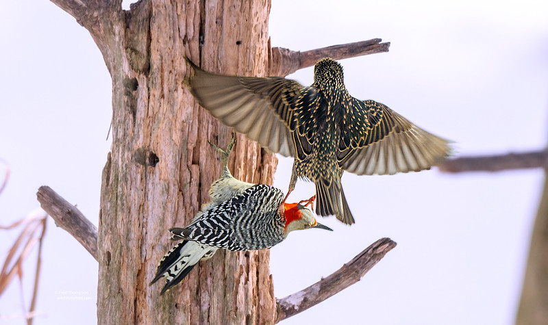 RED BELLY WOODPECKER AND STARLING FIGHTING OVER THE SUET, THIS IS ONE OF THE REASONS WHY I HATE STARLINGS