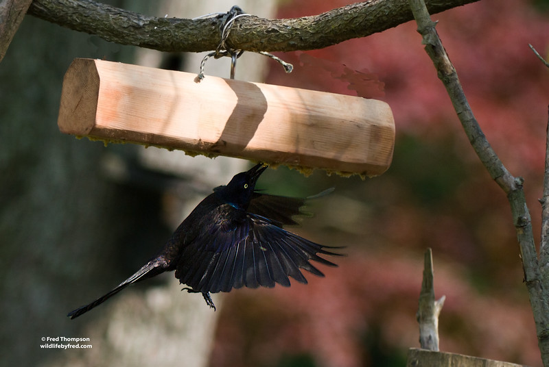 COMMON GRACKLE STEALING MY SUET