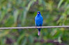 INDIGO BUNTING SINGING (MALE)
