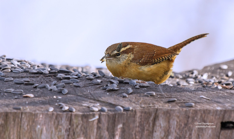 CAROLINA WREN--NOTE THE SUNFLOWER SEED ABOUT TO HIT IT IN THE HEAD, DROPPED BY A BIRD ABOVE IT