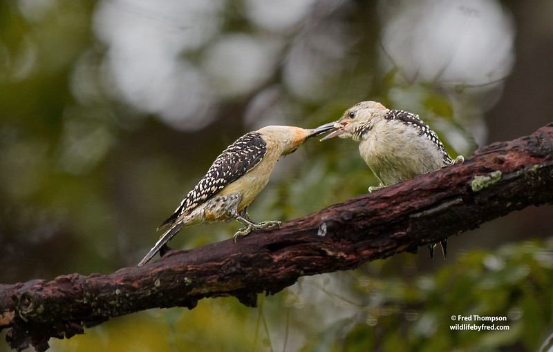 ADULT MALE RED BELLY WOODPECKER FEEDING JUVENILE