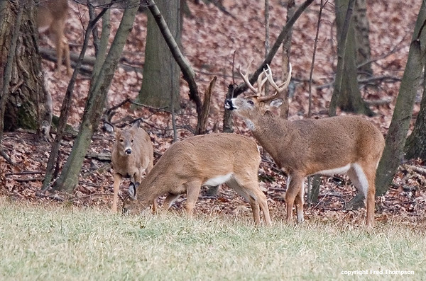 WHITETAIL BUCK GETTING READY TO MOUNT A DOE, THE DOE DID NOT ACCEPT HIM AND TOOK OFF RUNNING.