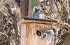 LOOKS LIKE THE SQUIRRELS HAVE TAKEN OVER THE OWL BOX I BUILT