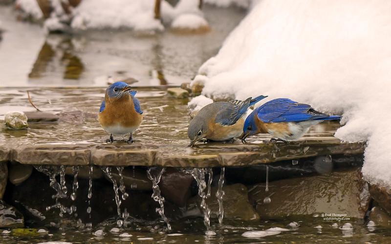 EASTERN BLUEBIRDS GETTING A WINTER TIME DRINK