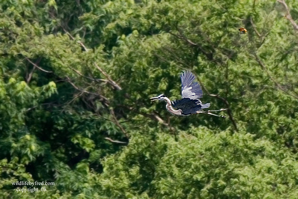 If you look closely at this photo you will see a Baltimore Oriole chasing this heron (IT IS ABOVE THE HERON NEAR THE TOP OF PHOTO). The oriole is in the upper right side of the photo. The Heron made the mistake of flying to close to the Orioles nest.