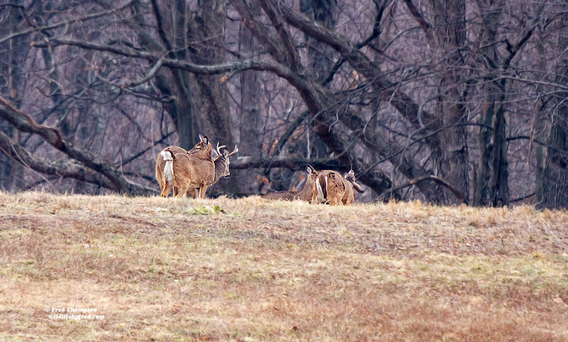 DEER ON FAR RIGHT HAS LOST ITS ANTLERS