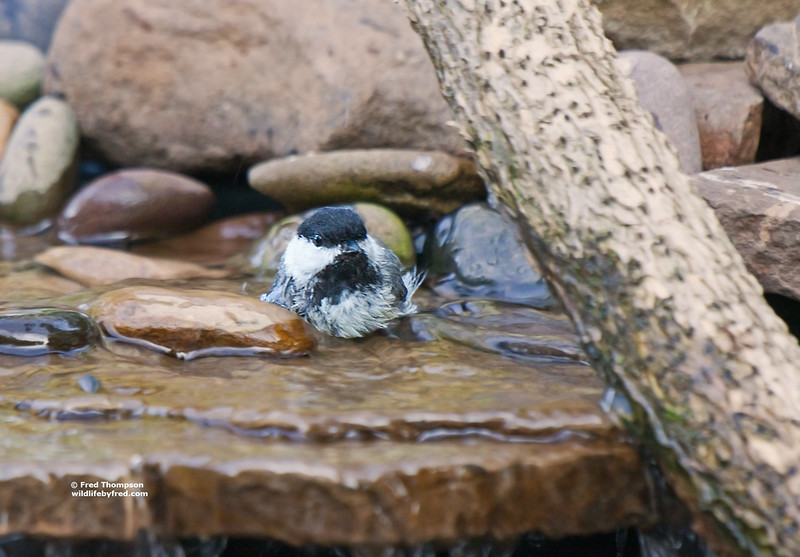 BLACK CAPPED CHICKADEE TAKING A BATH