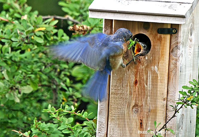 EASTERN BLUEBIRD FEEDING ITS YOUNG