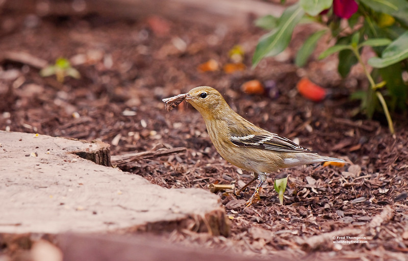 WARBLER WITH A MOTH