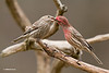 MALE HOUSE FINCH FEEDING A FEMALE