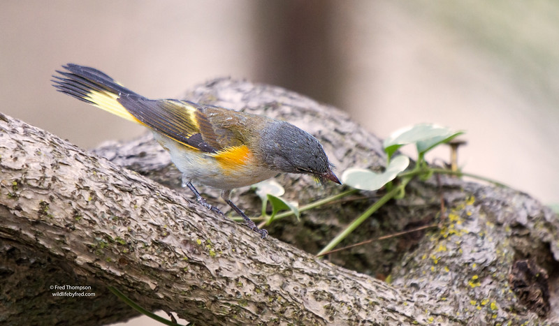 AMERICAN REDSTART--IF YOU LOOK CLOSELY AT THIS PHOTO YOU CAN SEE THE BLACK WISKERS ON THIS BIRD