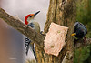 RED BELLY WOODPECKER (MALE) & STARLING FIGHTING OVER THE SUET